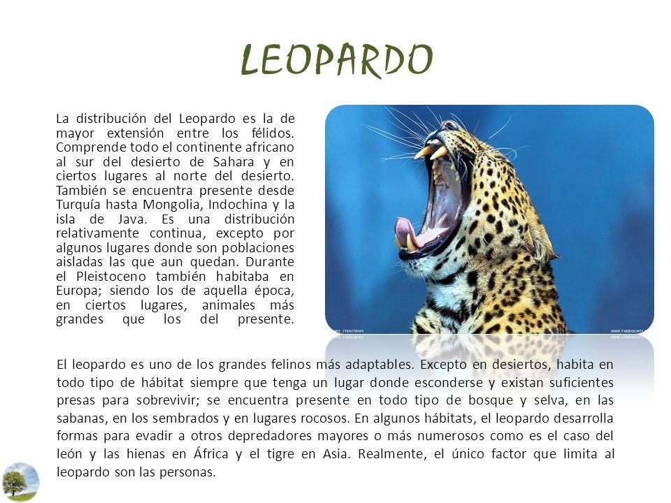 LEOPARDO La distribución del Leopardo es la de mayor extensión entre los félidos. Comprende todo el continente africano al sur del desierto de Sahara