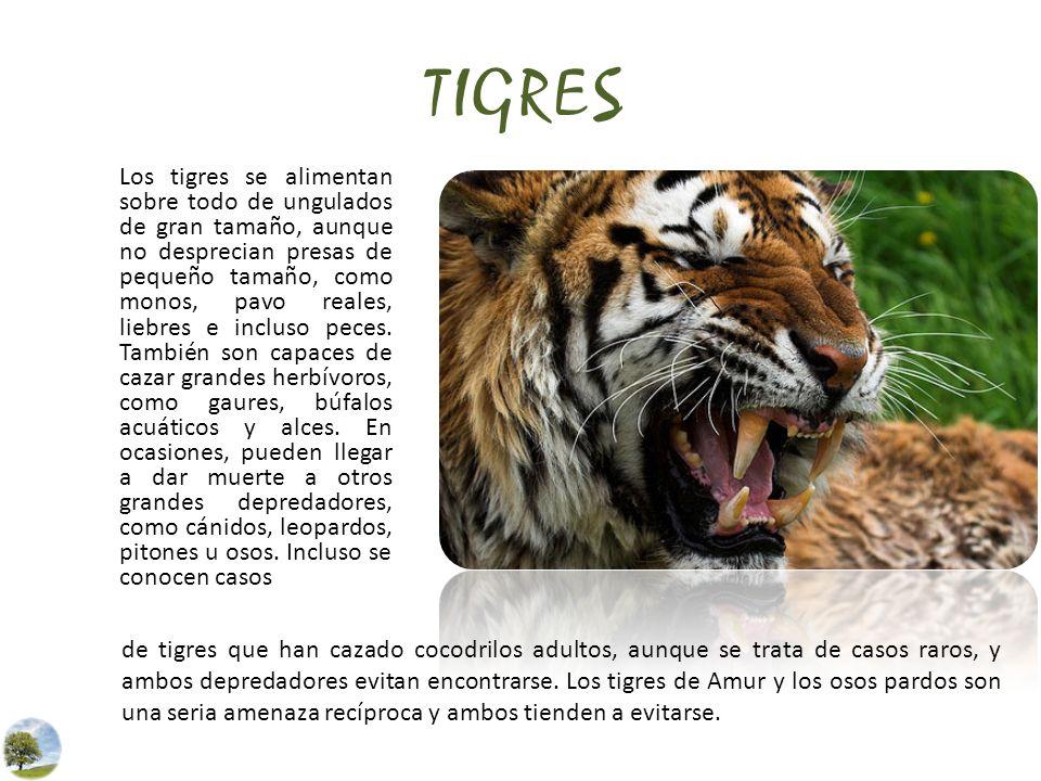 TIGRES Los tigres se alimentan sobre todo de ungulados de gran tamaño, aunque no desprecian presas de pequeño tamaño, como monos, pavo reales, liebres