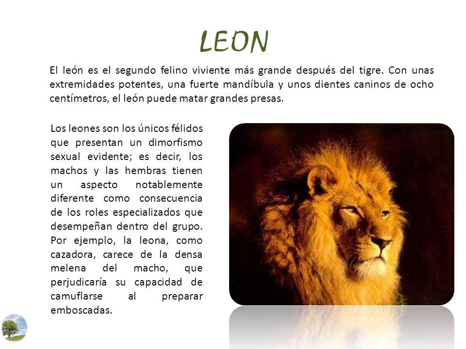 LEON El león es el segundo felino viviente más grande después del tigre. Con unas extremidades potentes, una fuerte mandíbula y unos dientes caninos d