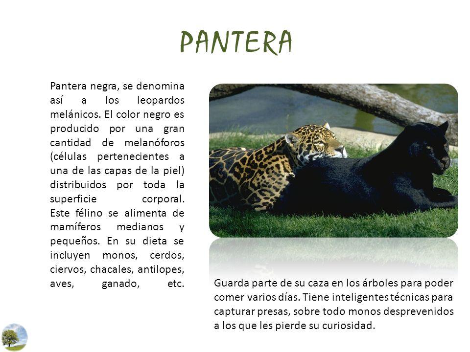 PANTERA Pantera negra, se denomina así a los leopardos melánicos. El color negro es producido por una gran cantidad de melanóforos (células pertenecie