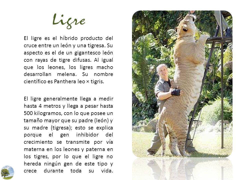 Ligre El ligre es el híbrido producto del cruce entre un león y una tigresa. Su aspecto es el de un gigantesco león con rayas de tigre difusas. Al igu