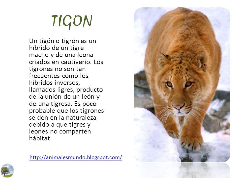 TIGON Un tigón o tigrón es un híbrido de un tigre macho y de una leona criados en cautiverio. Los tigrones no son tan frecuentes como los híbridos inv