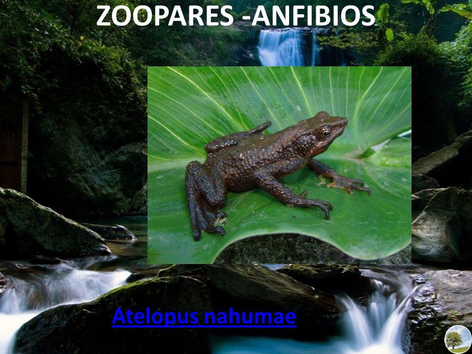 Atelopus nahumae ZOOPARES -ANFIBIOS