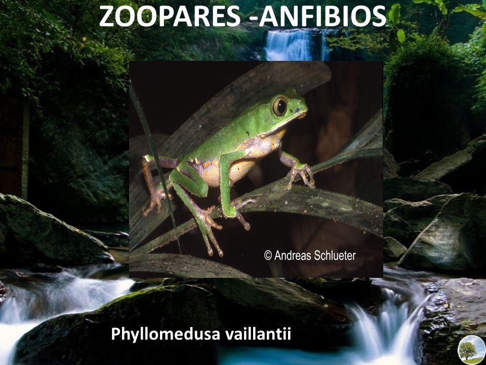 ZOOPARES -ANFIBIOS Phyllomedusa vaillantii