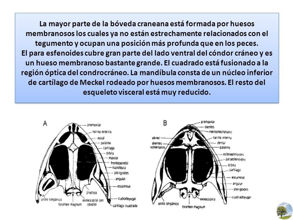 La mayor parte de la bóveda craneana está formada por huesos membranosos los cuales ya no están estrechamente relacionados con el tegumento y ocupan u