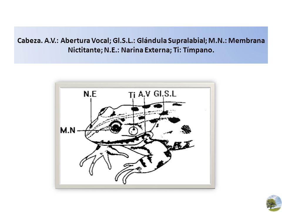 Cabeza. A.V.: Abertura Vocal; Gl.S.L.: Glándula Supralabial; M.N.: Membrana Nictitante; N.E.: Narina Externa; Ti: Tímpano.