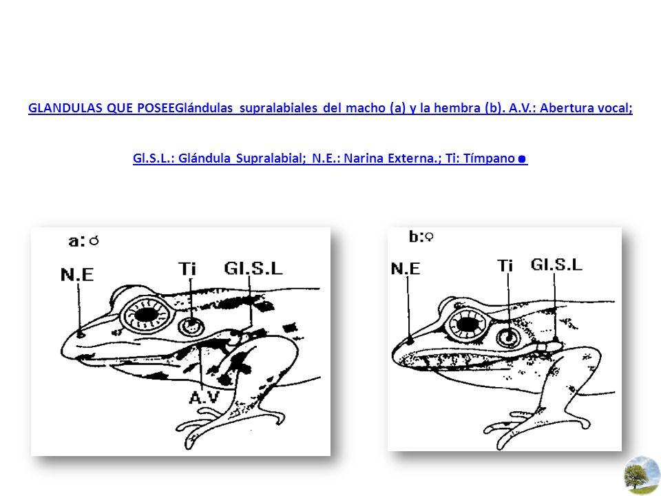 GLANDULAS QUE POSEEGlándulas supralabiales del macho (a) y la hembra (b). A.V.: Abertura vocal; Gl.S.L.: Glándula Supralabial; N.E.: Narina Externa.;