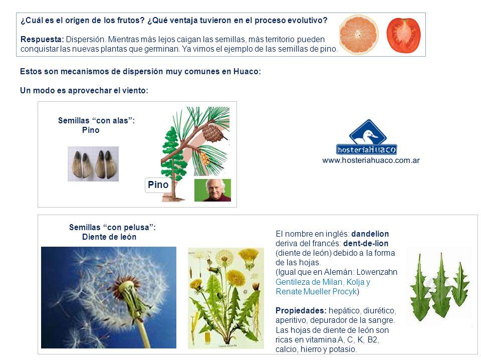 ¿Cuál es el origen de los frutos? ¿Qué ventaja tuvieron en el proceso evolutivo? Respuesta: Dispersión. Mientras más lejos caigan las semillas, más te
