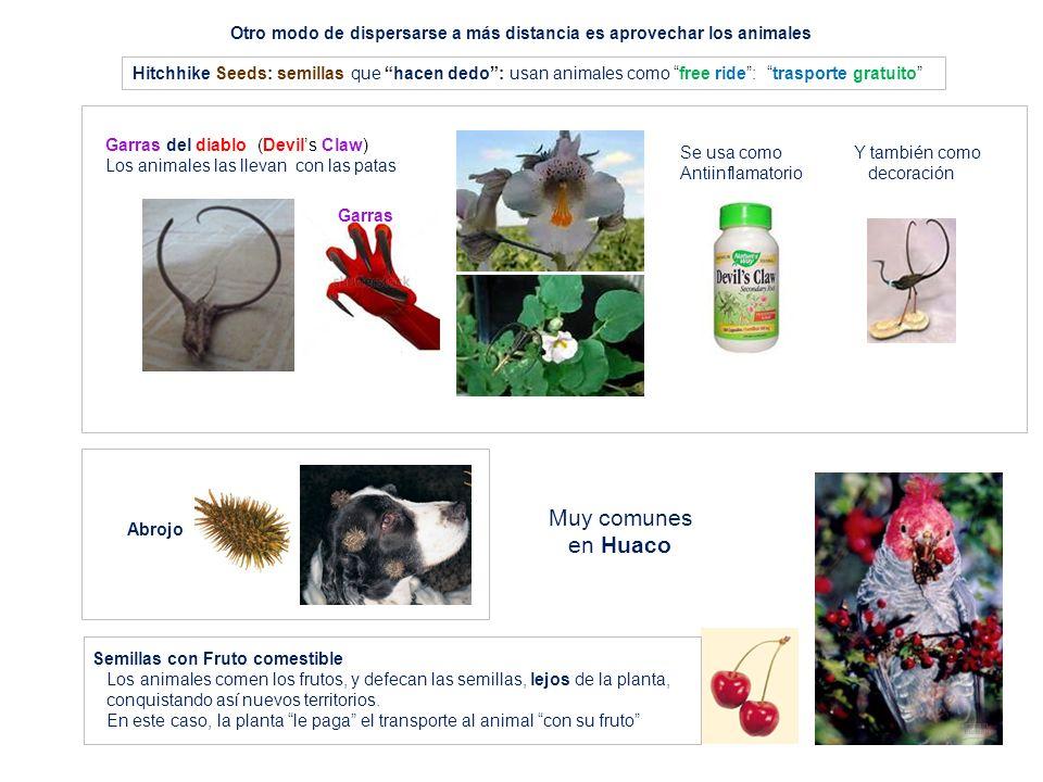 Abrojo Otro modo de dispersarse a más distancia es aprovechar los animales Semillas con Fruto comestible Los animales comen los frutos, y defecan las