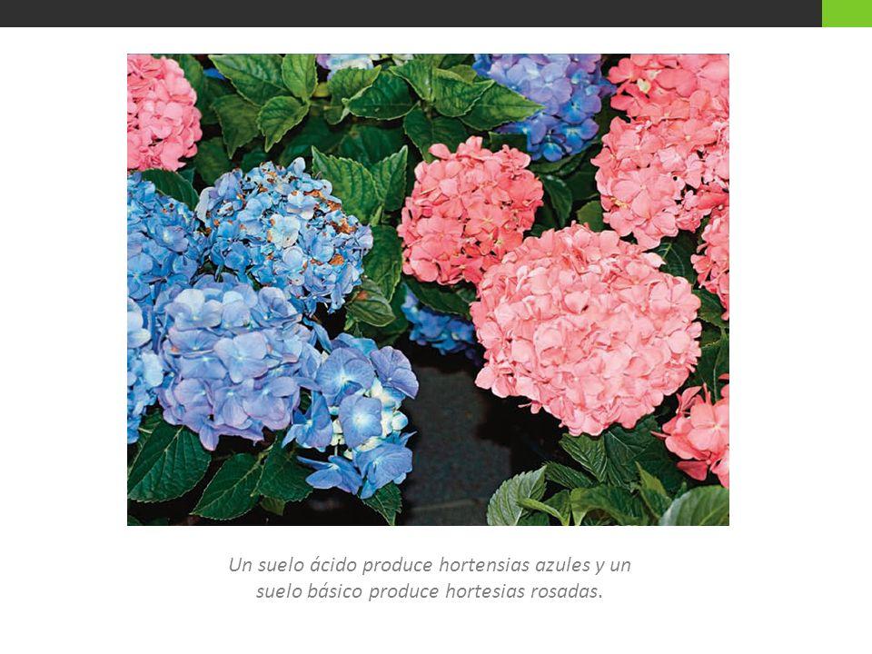 Un suelo ácido produce hortensias azules y un suelo básico produce hortesias rosadas.