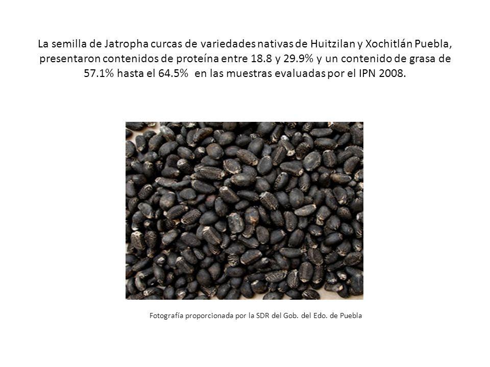 La semilla de Jatropha curcas de variedades nativas de Huitzilan y Xochitlán Puebla, presentaron contenidos de proteína entre 18.8 y 29.9% y un conten