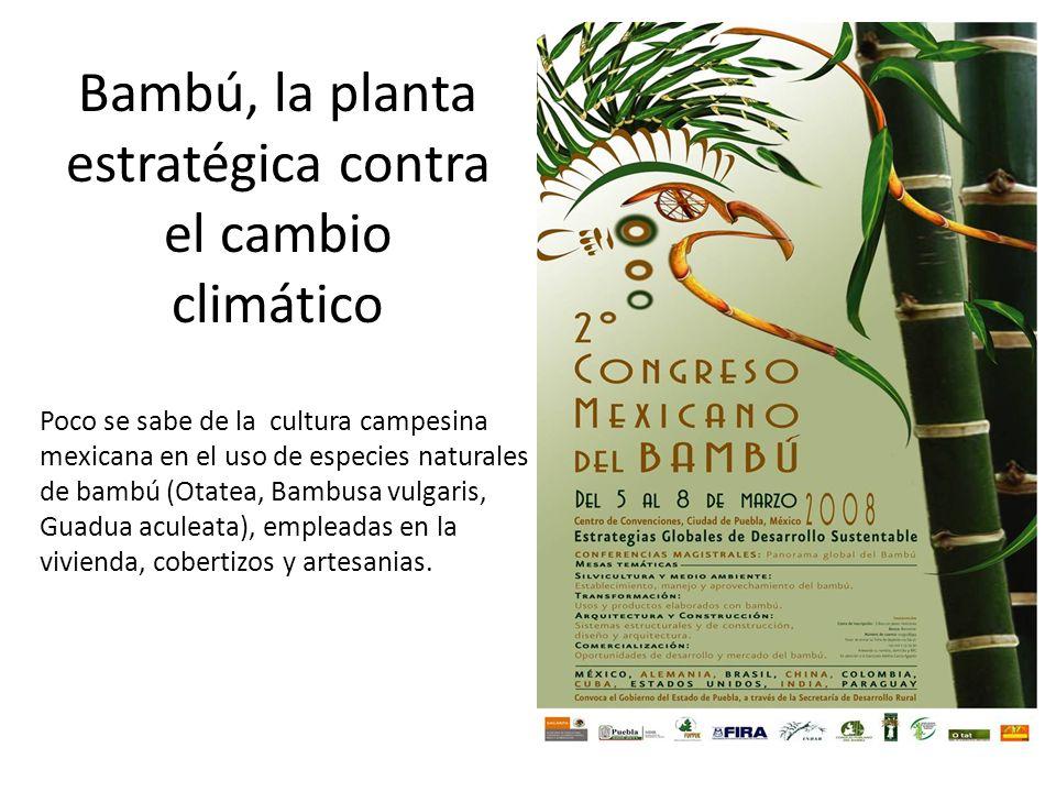 Bambú, la planta estratégica contra el cambio climático Poco se sabe de la cultura campesina mexicana en el uso de especies naturales de bambú (Otatea