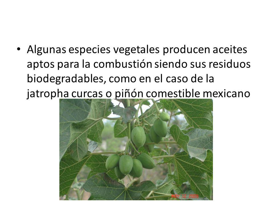 Algunas especies vegetales producen aceites aptos para la combustión siendo sus residuos biodegradables, como en el caso de la jatropha curcas o piñón