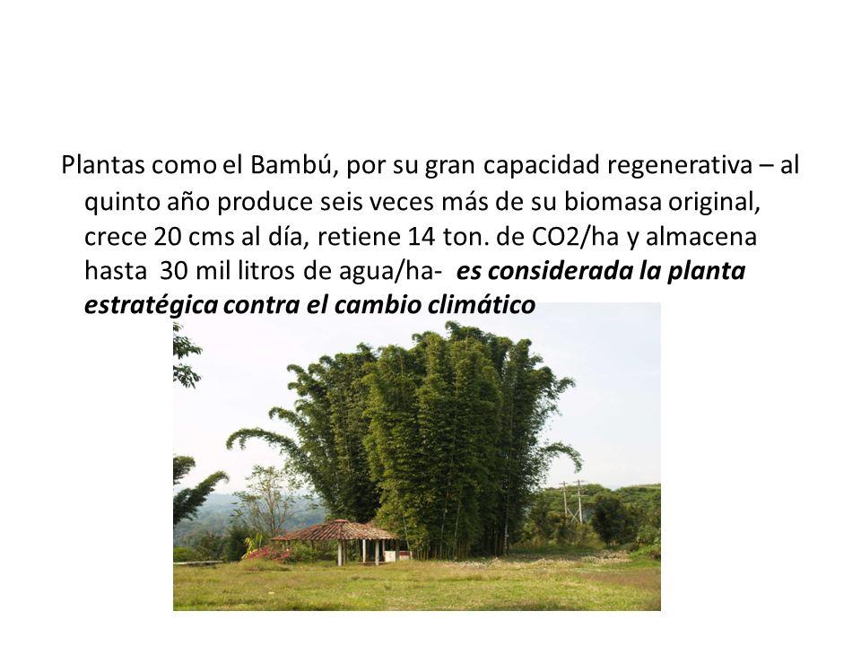 Plantas como el Bambú, por su gran capacidad regenerativa – al quinto año produce seis veces más de su biomasa original, crece 20 cms al día, retiene