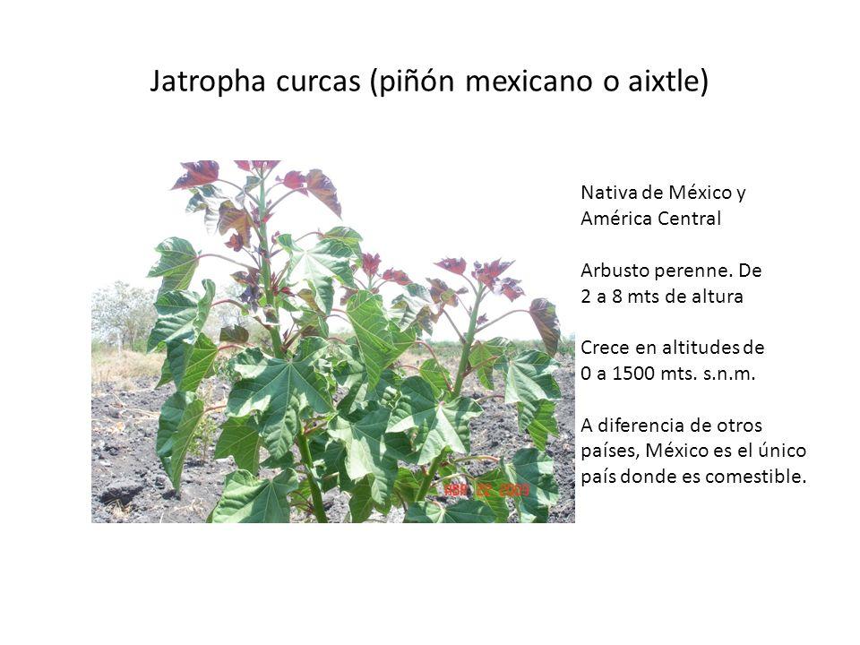 Jatropha curcas (piñón mexicano o aixtle) Nativa de México y América Central Arbusto perenne. De 2 a 8 mts de altura Crece en altitudes de 0 a 1500 mt