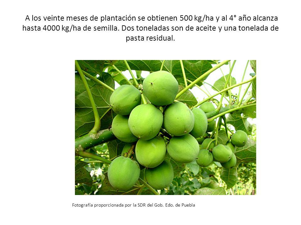 A los veinte meses de plantación se obtienen 500 kg/ha y al 4° año alcanza hasta 4000 kg/ha de semilla. Dos toneladas son de aceite y una tonelada de