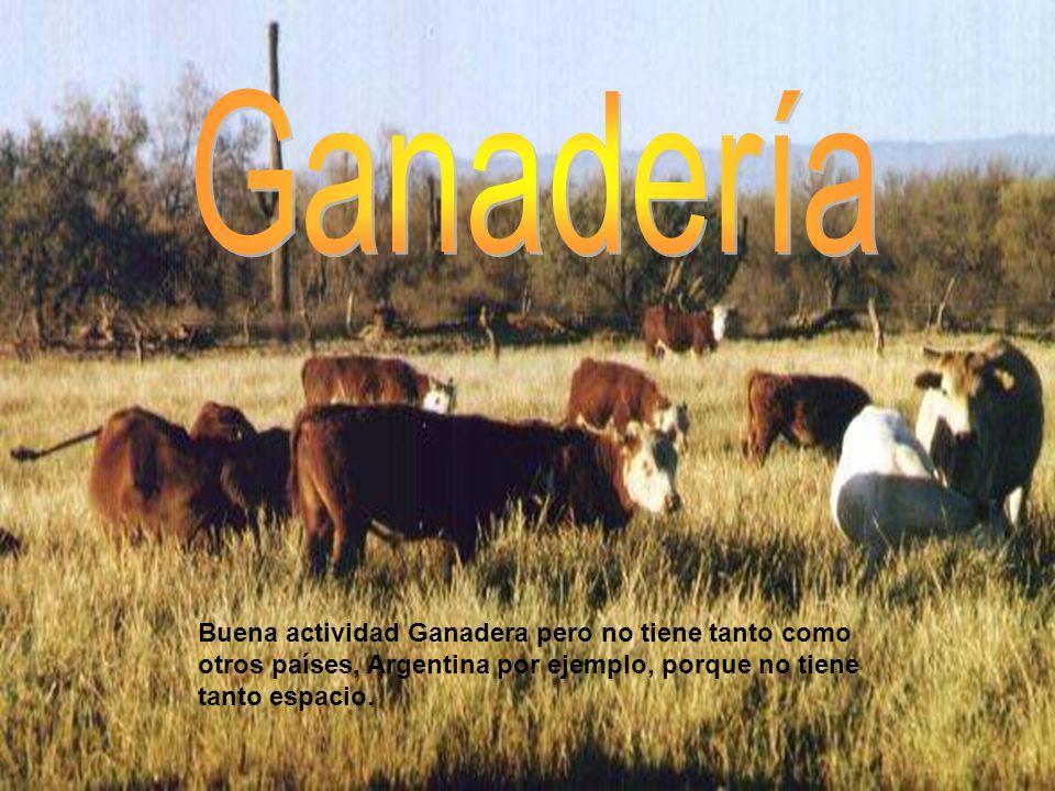 Buena actividad Ganadera pero no tiene tanto como otros países, Argentina por ejemplo, porque no tiene tanto espacio.