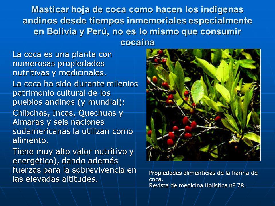 Masticar hoja de coca como hacen los indígenas andinos desde tiempos inmemoriales especialmente en Bolivia y Perú, no es lo mismo que consumir cocaína