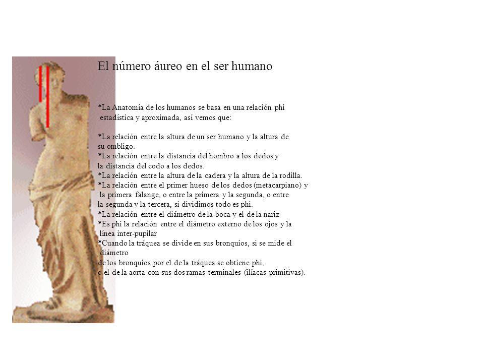 El número áureo en el ser humano *La Anatomía de los humanos se basa en una relación phi estadística y aproximada, así vemos que: *La relación entre l
