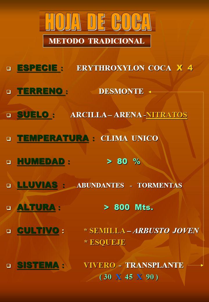 ESPECIE : ERYTHROXYLON COCA X 4 ESPECIE : ERYTHROXYLON COCA X 4 TERRENO : DESMONTE TERRENO : DESMONTE SUELO : ARCILLA – ARENA -NITRATOS SUELO : ARCILLA – ARENA -NITRATOS TEMPERATURA : CLIMA UNICO TEMPERATURA : CLIMA UNICO HUMEDAD : > 80 % HUMEDAD : > 80 % LLUVIAS : ABUNDANTES - TORMENTAS LLUVIAS : ABUNDANTES - TORMENTAS ALTURA : > 800 Mts.