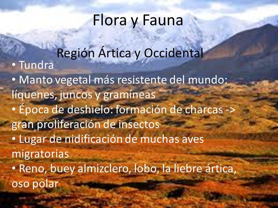 Flora y Fauna Tundra Manto vegetal más resistente del mundo: líquenes, juncos y gramíneas Época de deshielo: formación de charcas -> gran proliferació