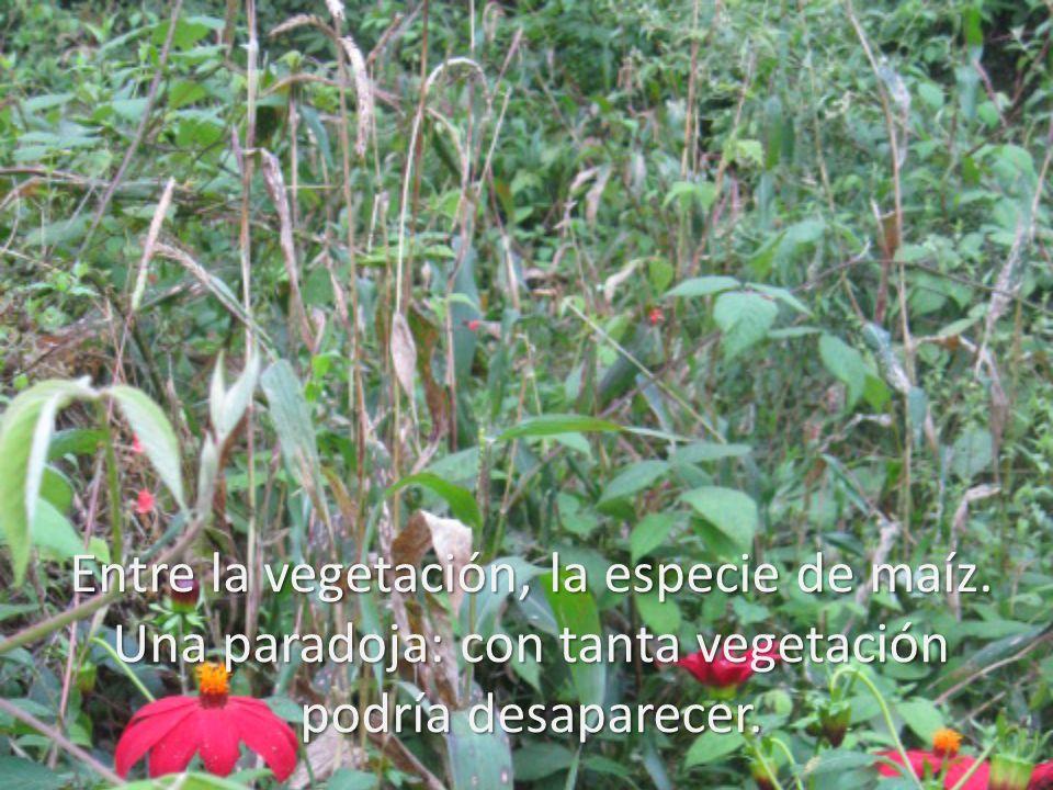 Entre la vegetación, la especie de maíz. Una paradoja: con tanta vegetación podría desaparecer.