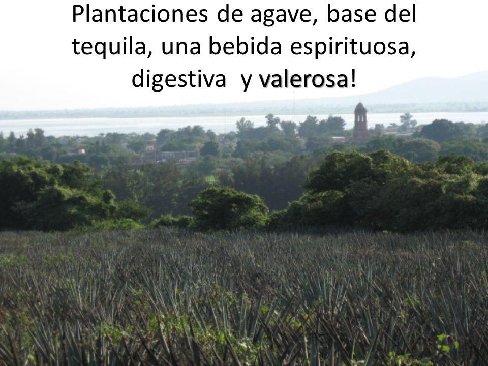 valerosa Plantaciones de agave, base del tequila, una bebida espirituosa, digestiva y valerosa!