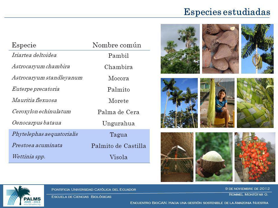 1.Genética del paisaje Estructura genética regional de Euterpe precatoria (palmito silvestre) Estructura genética regional de Oenocarpus bataua (ungurahua) Estructura genética regional de Phytelephas aequatorialis (tagua) Estructura genética de Ceroxylon echinulatum (palma de ramos) Estructura genética de Prestoea acuminata (palmito de castilla) Estructura genética de Mauritia flexuosa (morete) 2.Impacto humano sobre las estructura genética de las poblaciones de palmeras WP 2 Resiliencia de ecosistemas y límites de funcionamiento Rommel Montúfar G.