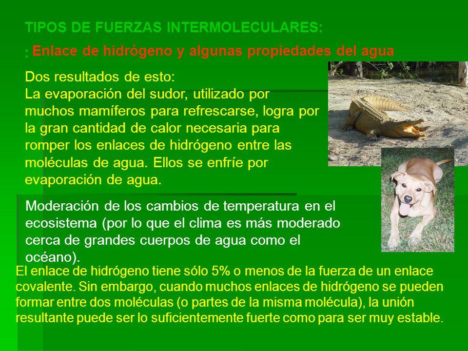 TIPOS DE FUERZAS INTERMOLECULARES: : Enlace de hidrógeno y algunas propiedades del agua Dos resultados de esto: La evaporación del sudor, utilizado po