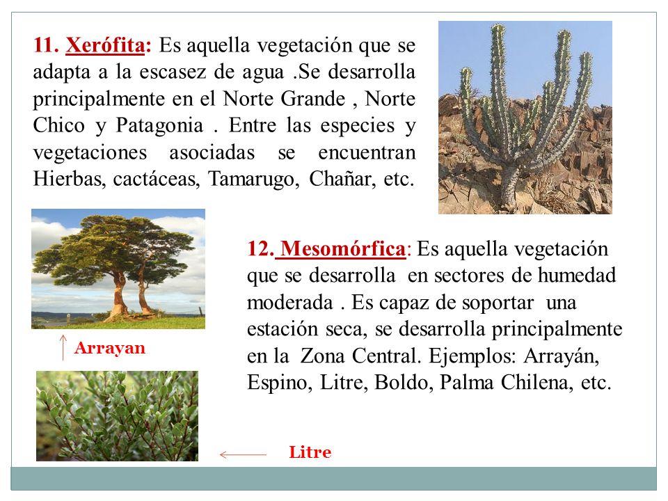 11. Xerófita: Es aquella vegetación que se adapta a la escasez de agua.Se desarrolla principalmente en el Norte Grande, Norte Chico y Patagonia. Entre