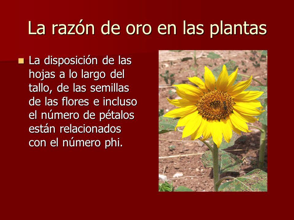 La razón de oro en las plantas La disposición de las hojas a lo largo del tallo, de las semillas de las flores e incluso el número de pétalos están relacionados con el número phi.
