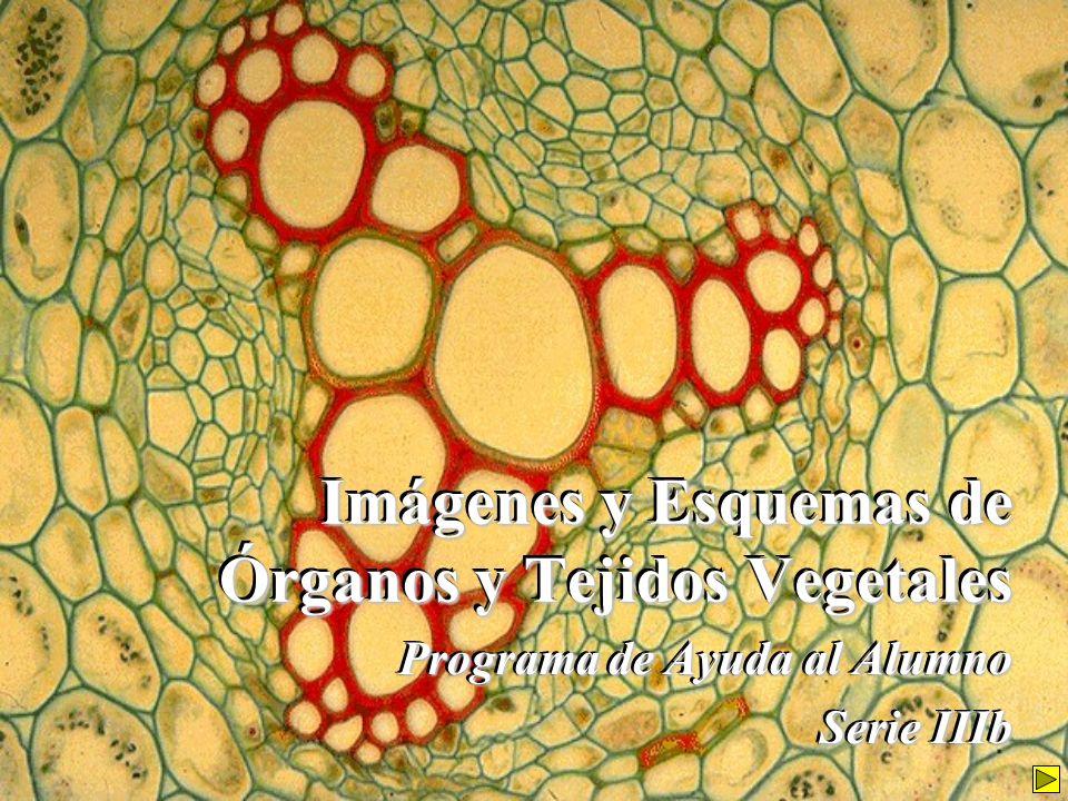 Imágenes y Esquemas de Órganos y Tejidos Vegetales Programa de Ayuda al Alumno Serie IIIb Programa de Ayuda al Alumno Serie IIIb