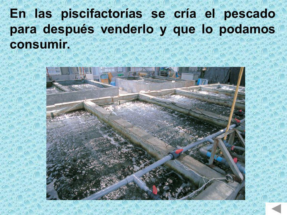 En las piscifactorías se cría el pescado para después venderlo y que lo podamos consumir.