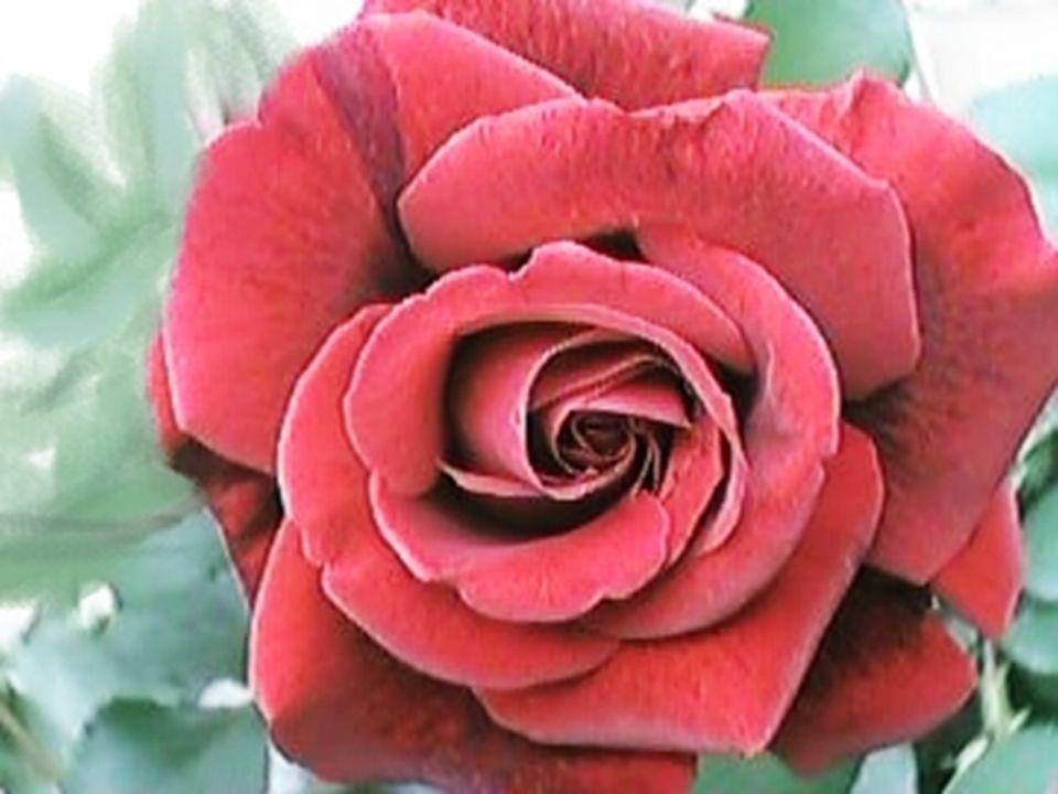 Soneto XXIII En tanto que de rosa y dazucena se muestra la color en vuestro gesto, y que vuestro mirar ardiente,honesto, con clara luz la tempestad serena;