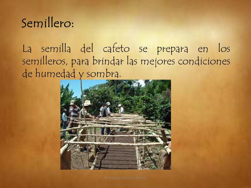 Semillero: La semilla del cafeto se prepara en los semilleros, para brindar las mejores condiciones de humedad y sombra. Primeros Auxilios Basico