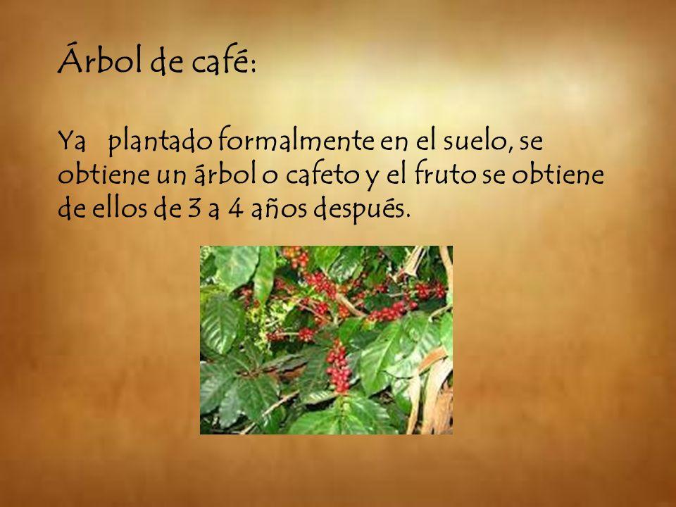 Árbol de café: Ya plantado formalmente en el suelo, se obtiene un árbol o cafeto y el fruto se obtiene de ellos de 3 a 4 años después.