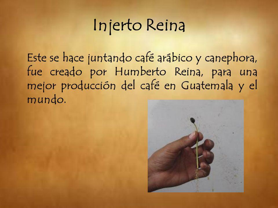 Este se hace juntando café arábico y canephora, fue creado por Humberto Reina, para una mejor producción del café en Guatemala y el mundo. Injerto Rei
