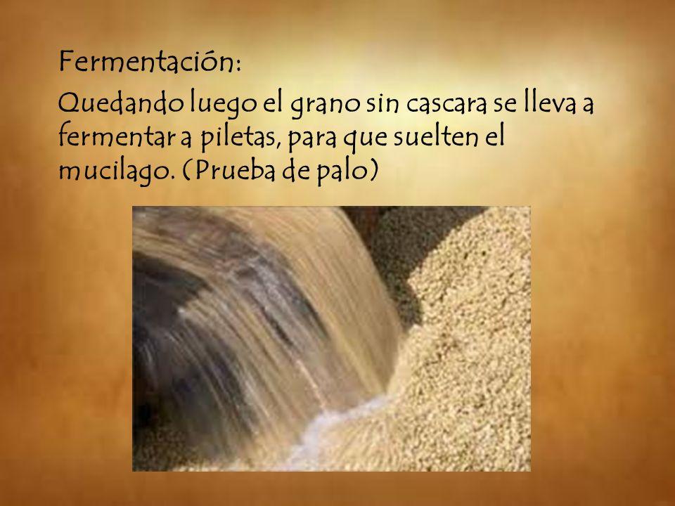 Fermentación: Quedando luego el grano sin cascara se lleva a fermentar a piletas, para que suelten el mucilago. (Prueba de palo)