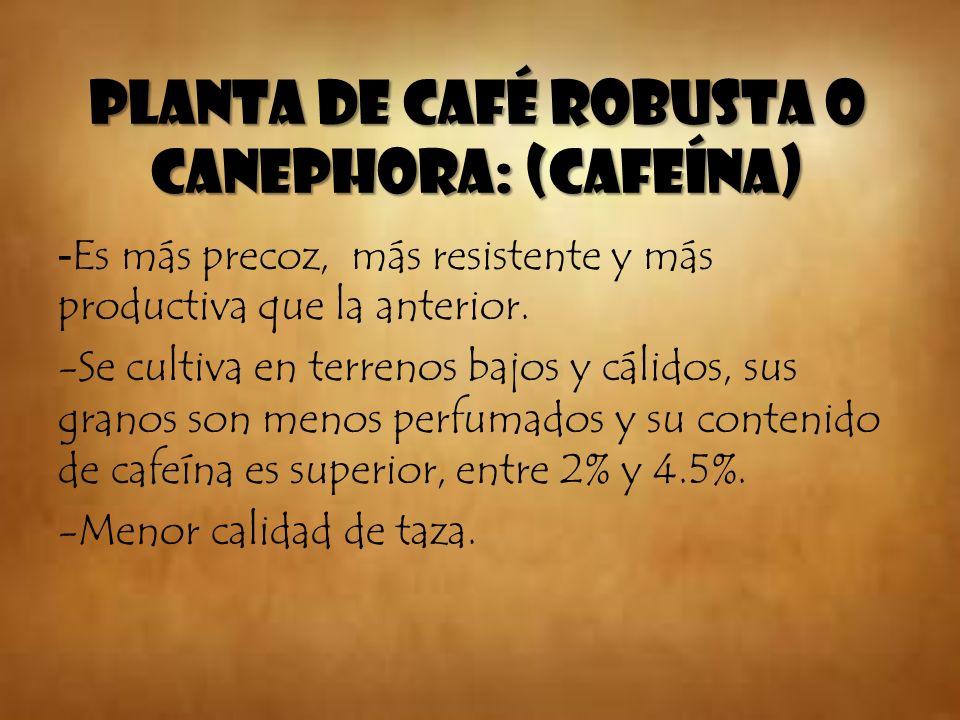 Planta de café Robusta o Canephora: (cafeína) - Es más precoz, más resistente y más productiva que la anterior. -Se cultiva en terrenos bajos y cálido