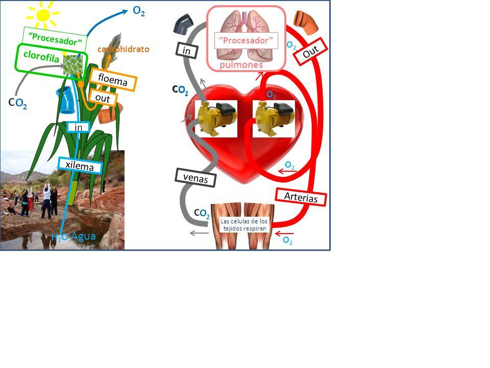 O2O2 Agua Óxido 2 C O di de Carbono Oxígeno H2O H2O clorofila carbohidrato Fotosíntesis Células de Plantas Padres se unen Se origina una nueva vida
