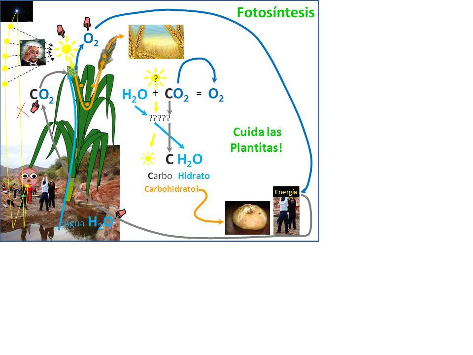 O2O2 O2O2 O2O2 O2O2 2 C O 2 C O 2 C O Las células de los tejidos respiran O2O2 Agua 2 C O H2O H2O clorofila carbohidrato venas floema Arterias xilema