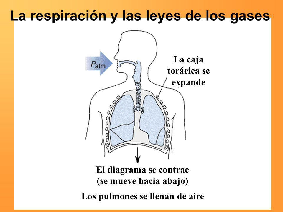 La respiración y las leyes de los gases La caja torácica se expande El diagrama se contrae (se mueve hacia abajo) Los pulmones se llenan de aire