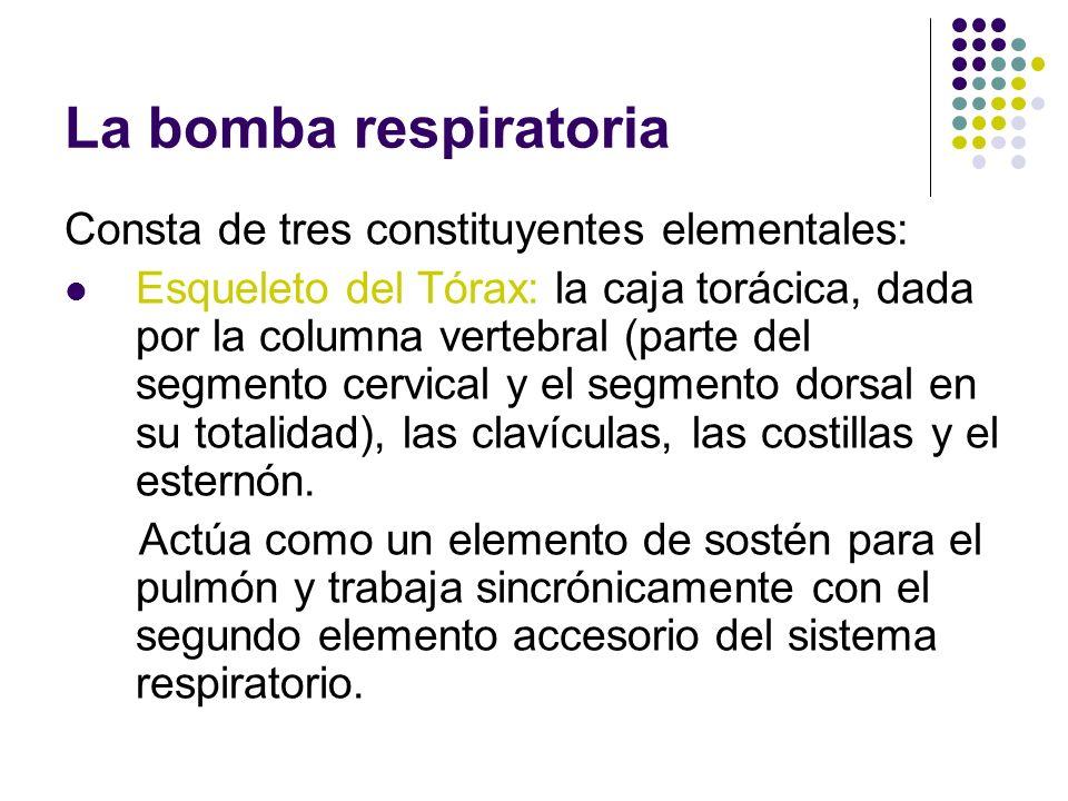 La bomba respiratoria Consta de tres constituyentes elementales: Esqueleto del Tórax: la caja torácica, dada por la columna vertebral (parte del segmento cervical y el segmento dorsal en su totalidad), las clavículas, las costillas y el esternón.