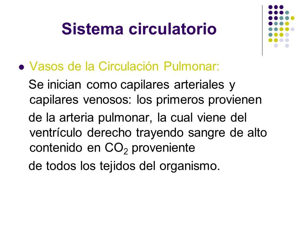 Sistema circulatorio Vasos de la Circulación Pulmonar: Se inician como capilares arteriales y capilares venosos: los primeros provienen de la arteria