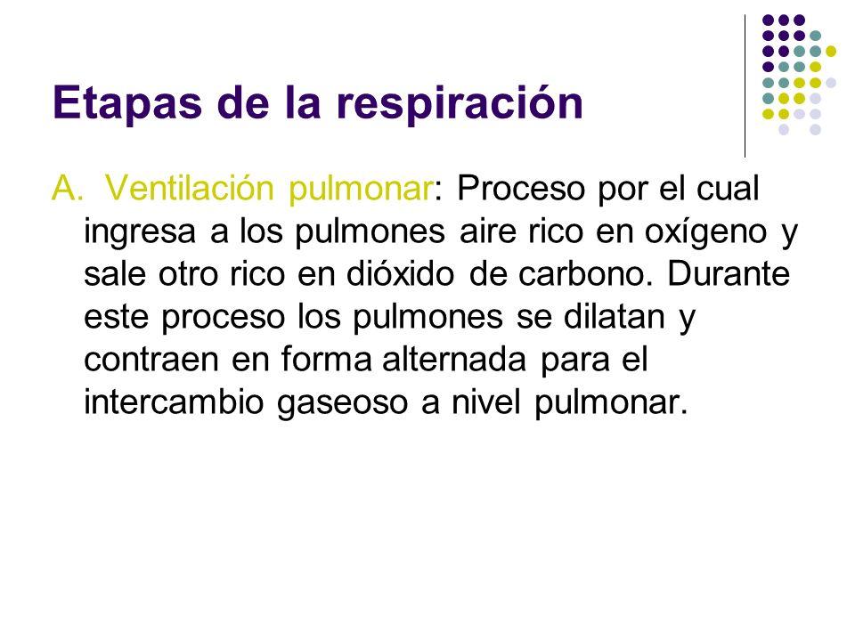 Etapas de la respiración A. Ventilación pulmonar: Proceso por el cual ingresa a los pulmones aire rico en oxígeno y sale otro rico en dióxido de carbo