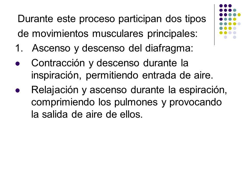 Durante este proceso participan dos tipos de movimientos musculares principales: 1. Ascenso y descenso del diafragma: Contracción y descenso durante l