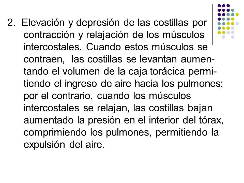 2. Elevación y depresión de las costillas por contracción y relajación de los músculos intercostales. Cuando estos músculos se contraen, las costillas