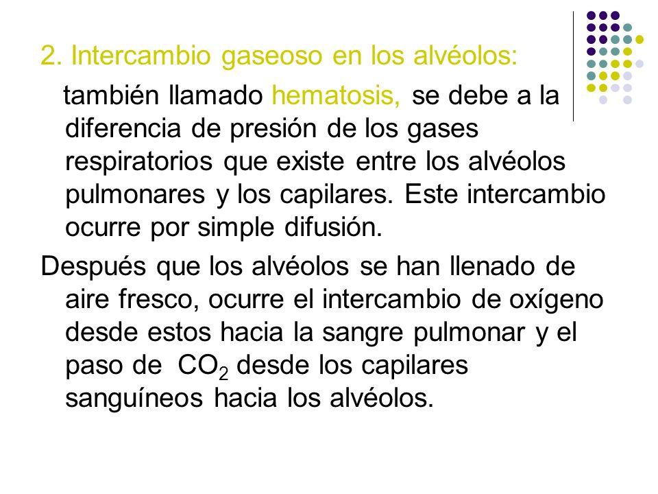 2. Intercambio gaseoso en los alvéolos: también llamado hematosis, se debe a la diferencia de presión de los gases respiratorios que existe entre los