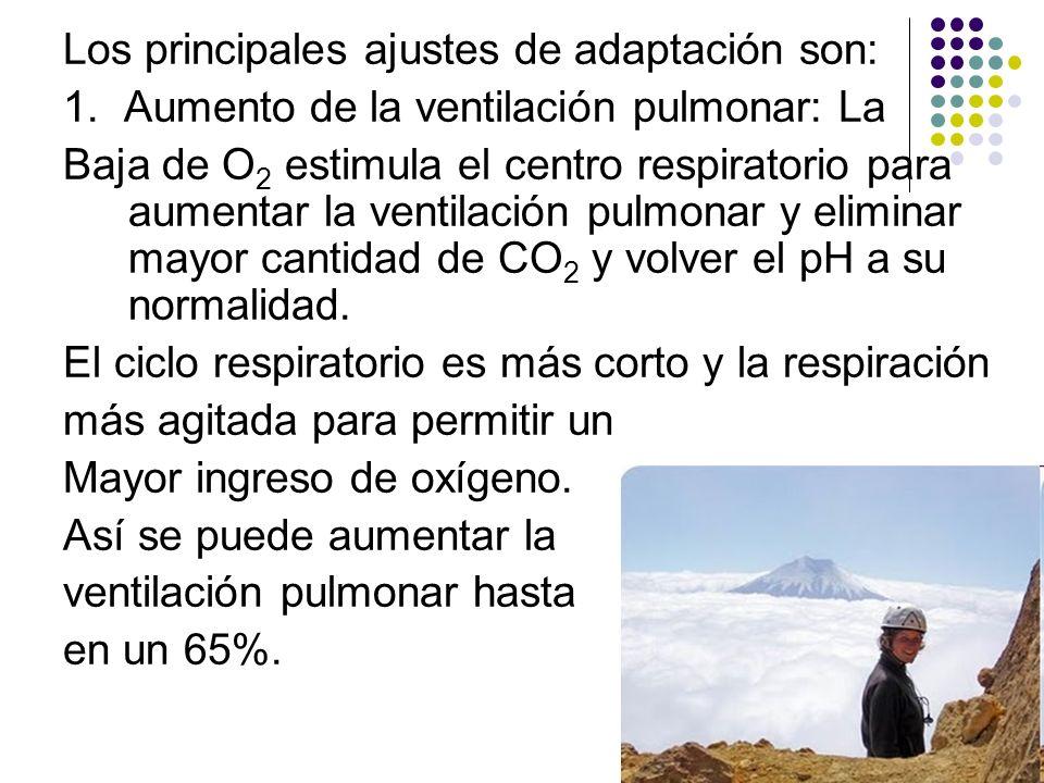Los principales ajustes de adaptación son: 1. Aumento de la ventilación pulmonar: La Baja de O 2 estimula el centro respiratorio para aumentar la vent