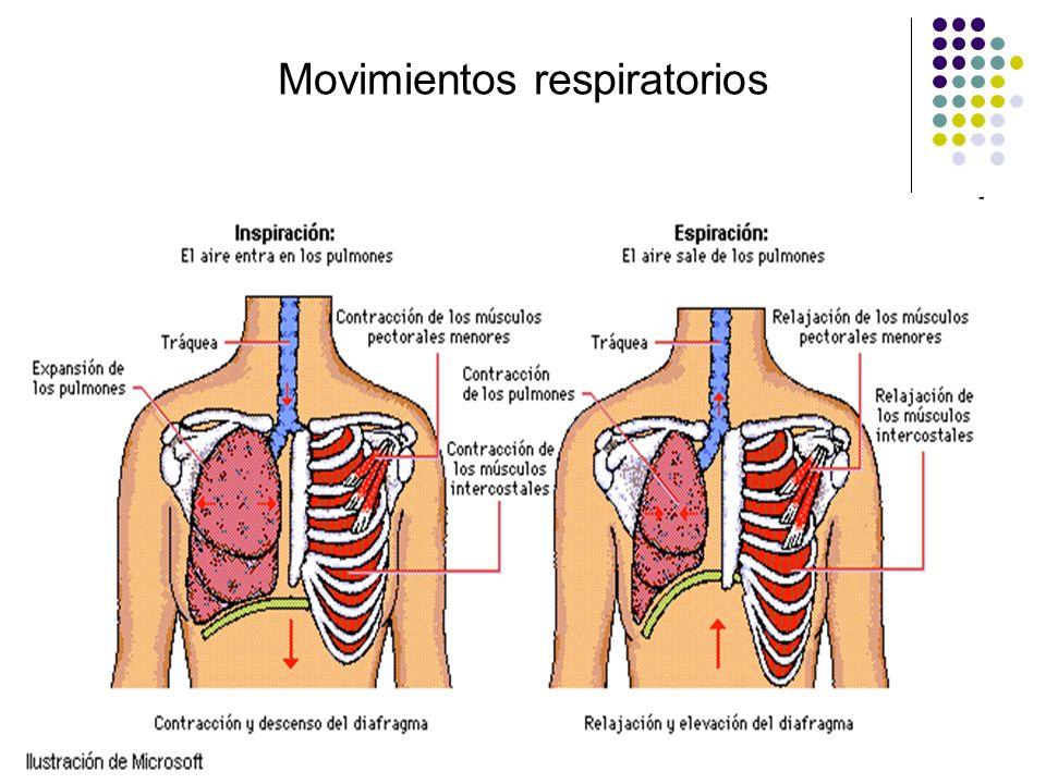Funciones del sistema respiratorio Para mantener niveles normales de O 2 y CO 2 en las variadas condiciones de demanda metabólica, la ventilación alveolar es regulada por una red de centros y vías neuronales que genera los estímulos que activan rítmicamente, no sólo los músculos respiratorios, sino también los músculos faríngeos que mantienen abierta la vía aérea superior.